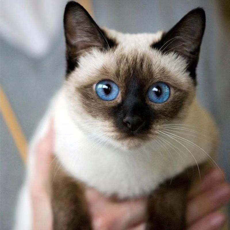 CFA认证注册猫舍 精品纯血统暹罗