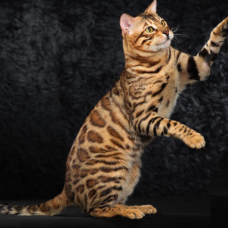 CFA认证注册猫舍 孟加拉豹猫2