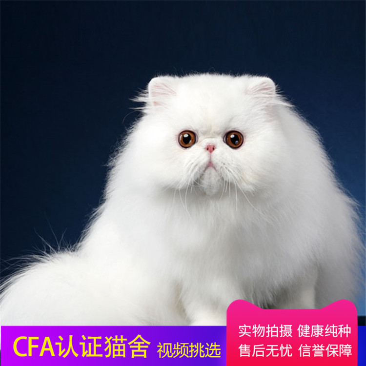 CFA认证注册猫舍 纯种波斯猫