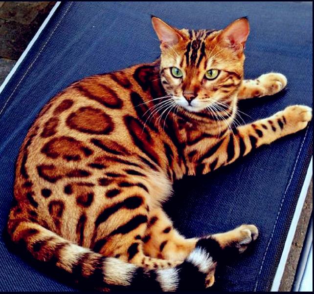 CFA认证注册猫舍 孟加拉豹猫3