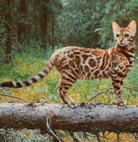 CFA认证注册猫舍 孟加拉豹猫4