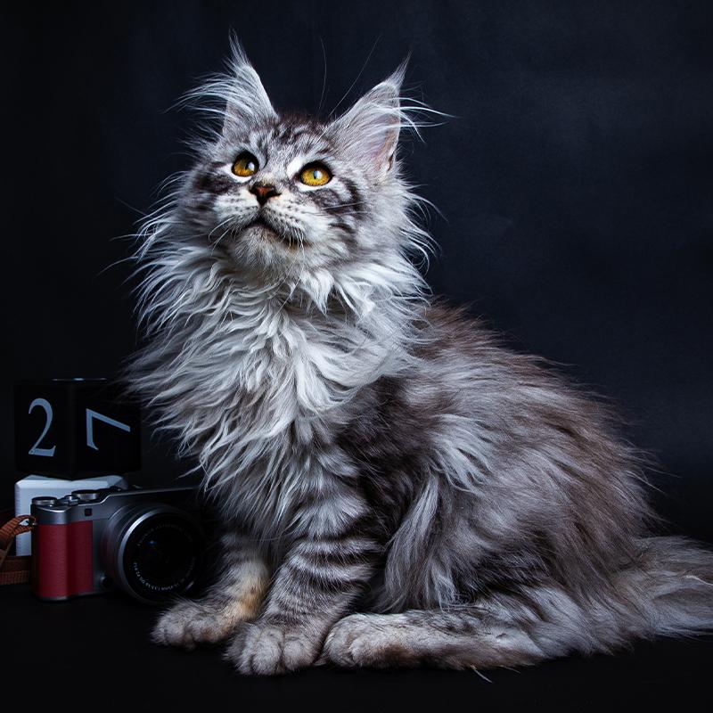 CFA认证注册猫舍俄罗斯血统缅因