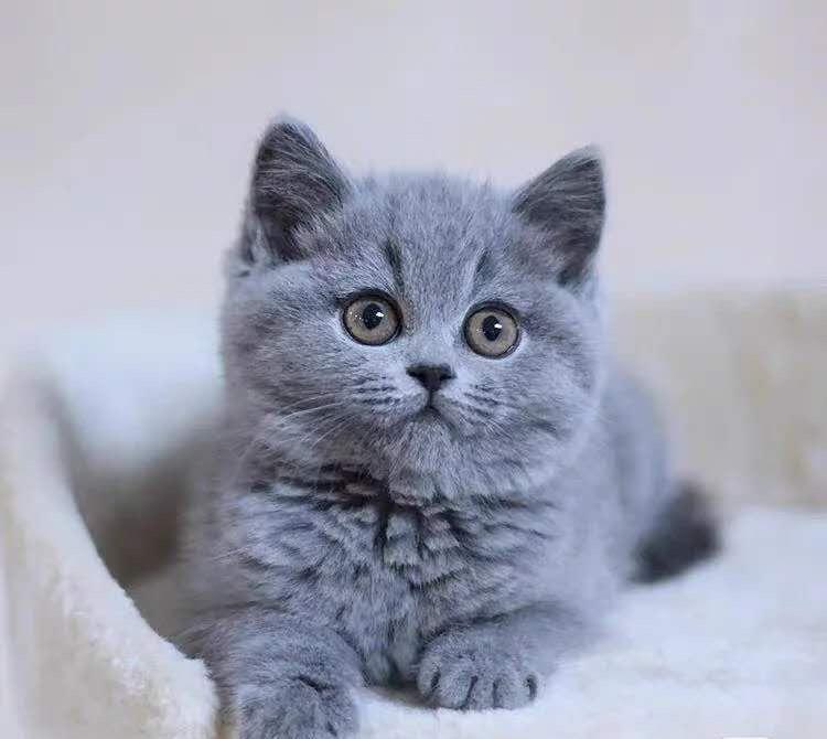 CFA认证注册猫舍 精品英短蓝猫