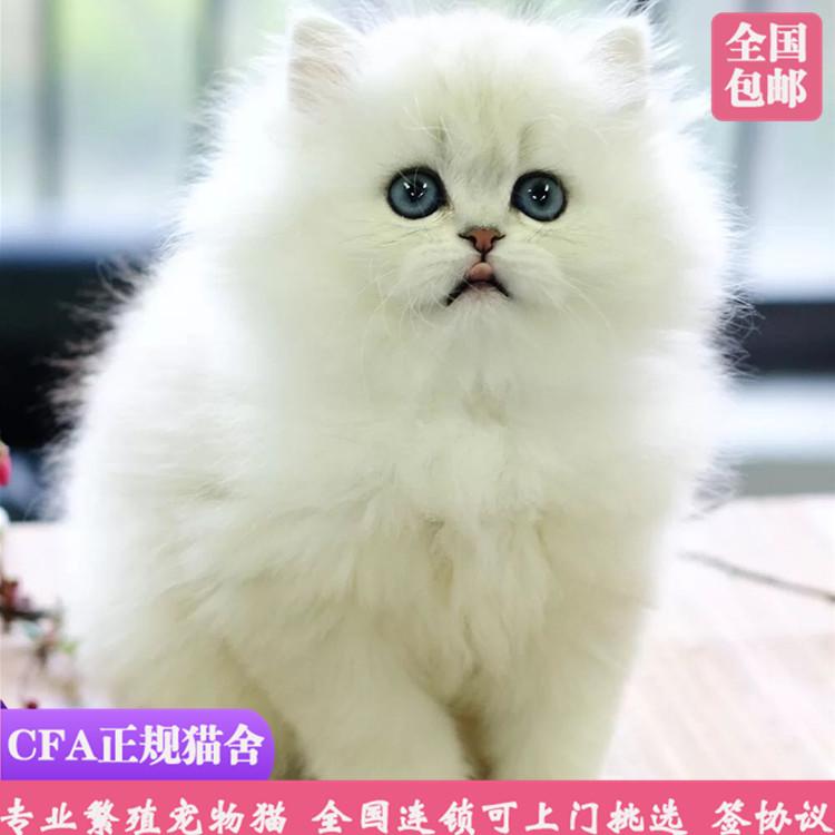 CFA认证注册猫舍蓝眼金吉拉