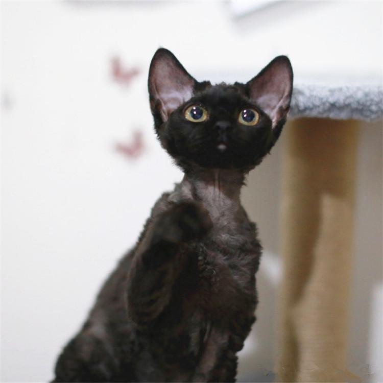 CFA认证注册猫舍 德文卷毛猫