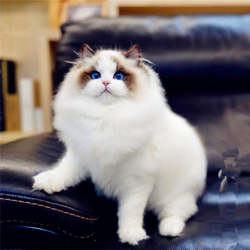 CFA认证注册猫舍 纯血统布偶猫