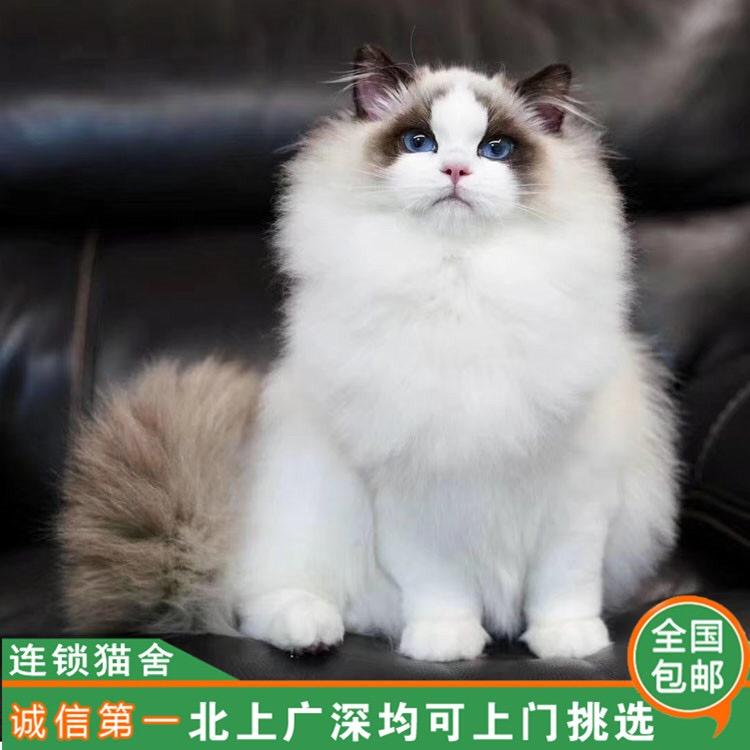 cfa注册猫舍 高赛级布偶 品相惊艳
