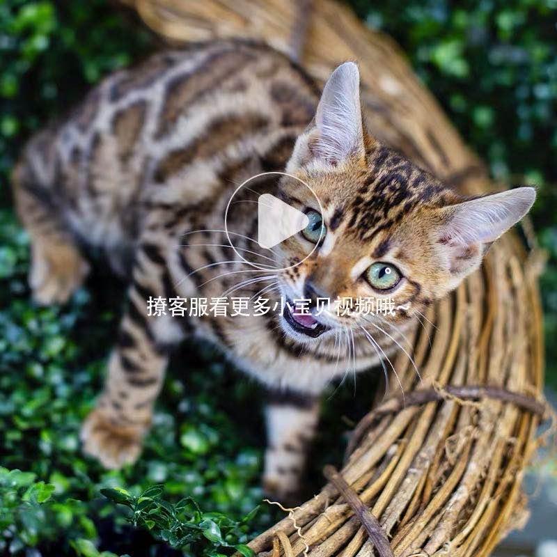 豹猫纯种孟加拉豹猫 空心大玫瑰花纹 全国发货4