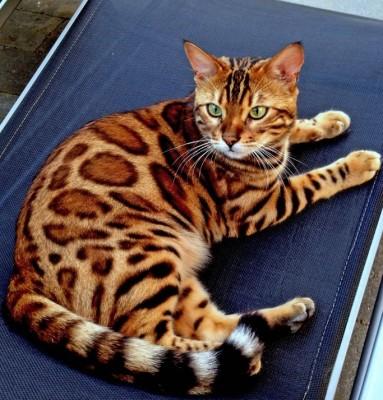 孟加拉豹猫 纯种豹猫幼猫出售 网红豹猫小猫出售2