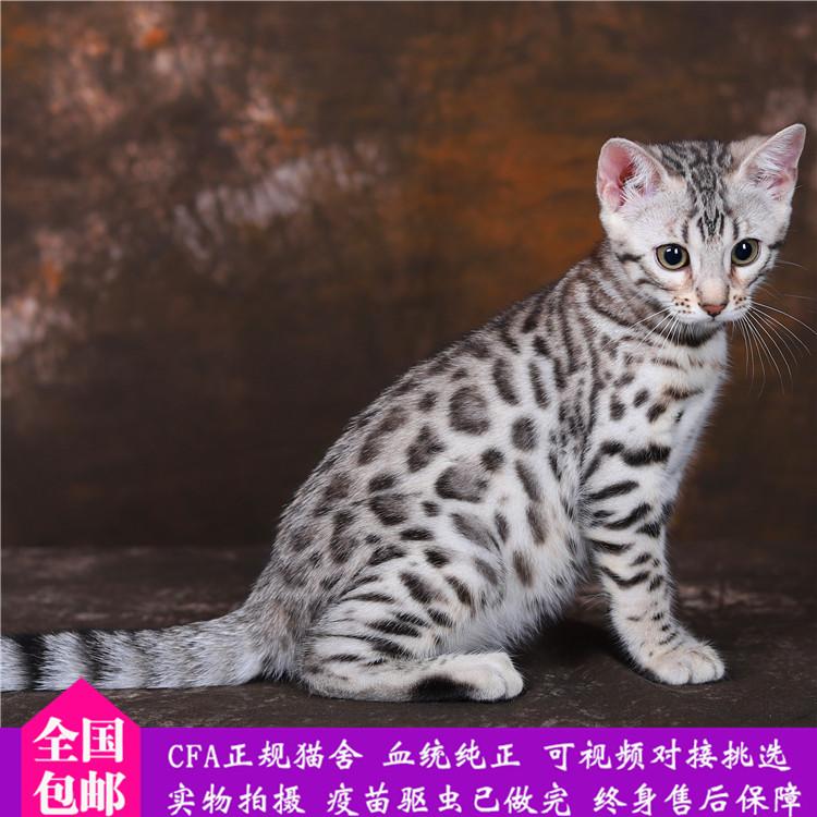 孟加拉豹猫 纯种豹猫幼猫出售 网红豹猫小猫出售13