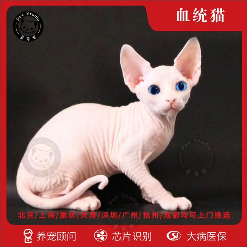 斯芬克斯加拿大无毛猫北京猫舍纯种白皮鸳鸯蓝眼