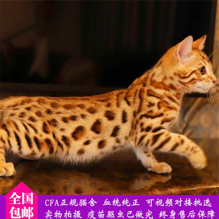孟加拉豹猫 纯种豹猫幼猫出售 网红豹猫小猫出售4