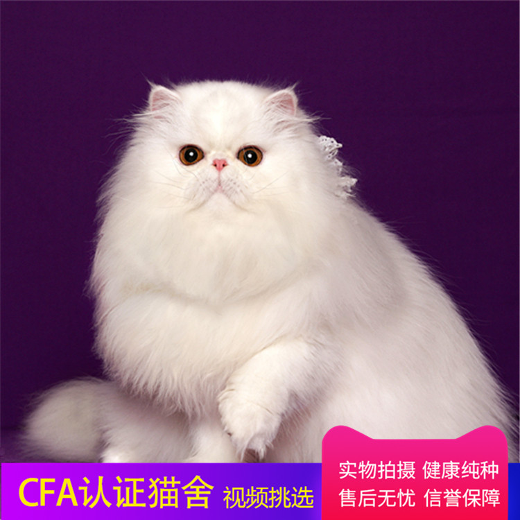 纯种波斯猫、全国最大品种猫繁殖基地、品质保障、可全国托运