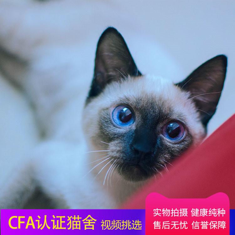 最大暹罗猫舍、正规暹罗猫舍、官方推荐、五星好评猫舍终身质保