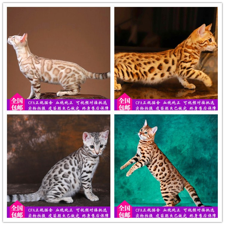 孟加拉豹猫 纯种豹猫幼猫出售 网红豹猫小猫出售6