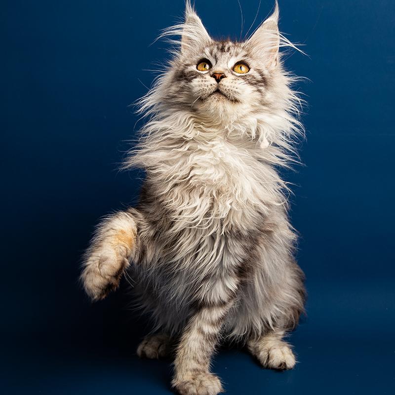 CFA认证 正规猫舍 缅因直销 纯种健康缅因猫 缅因猫幼猫