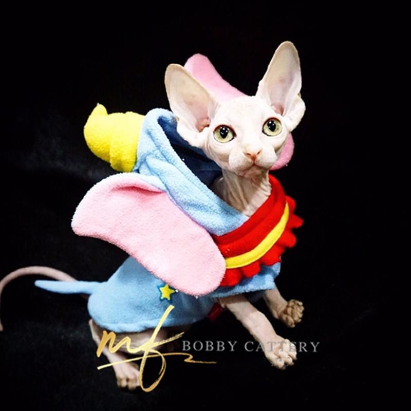 CFA猫舍出售精品无毛猫纯正健康 精灵感十足