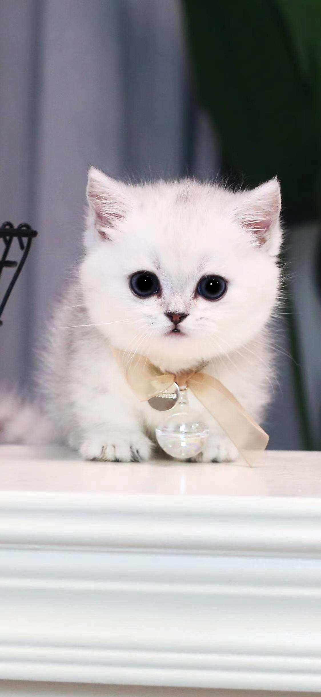 家养宠物猫曼基康矮脚猫拖地矮大眼萌无敌小可爱