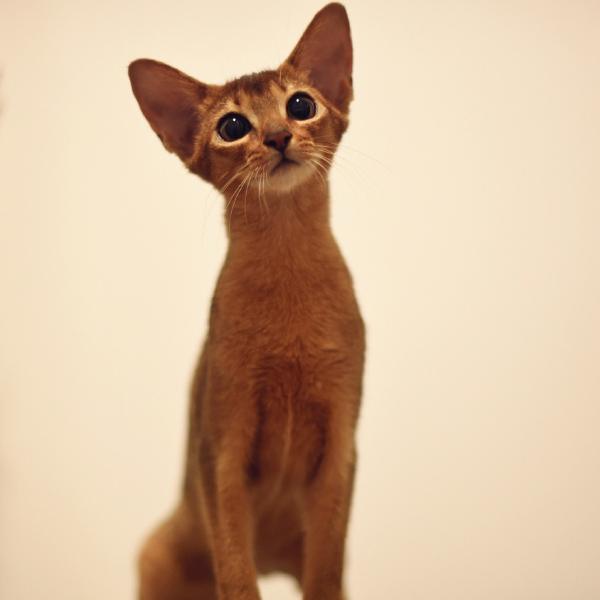 出售家养阿比西尼亚猫 纯种健康 活泼可爱