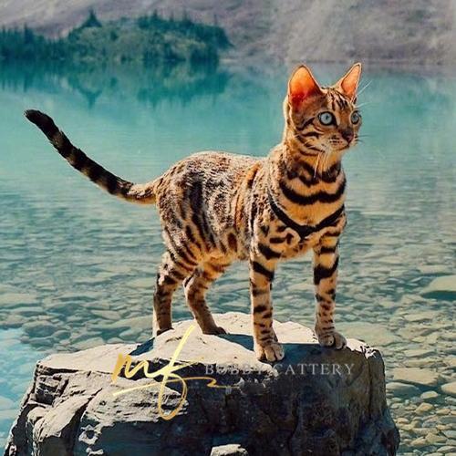 CFA TICA 双注册猫舍出售精品豹猫 公母均有支持上门