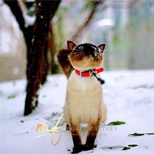 cfa猫舍出售家养暹罗猫温顺粘人