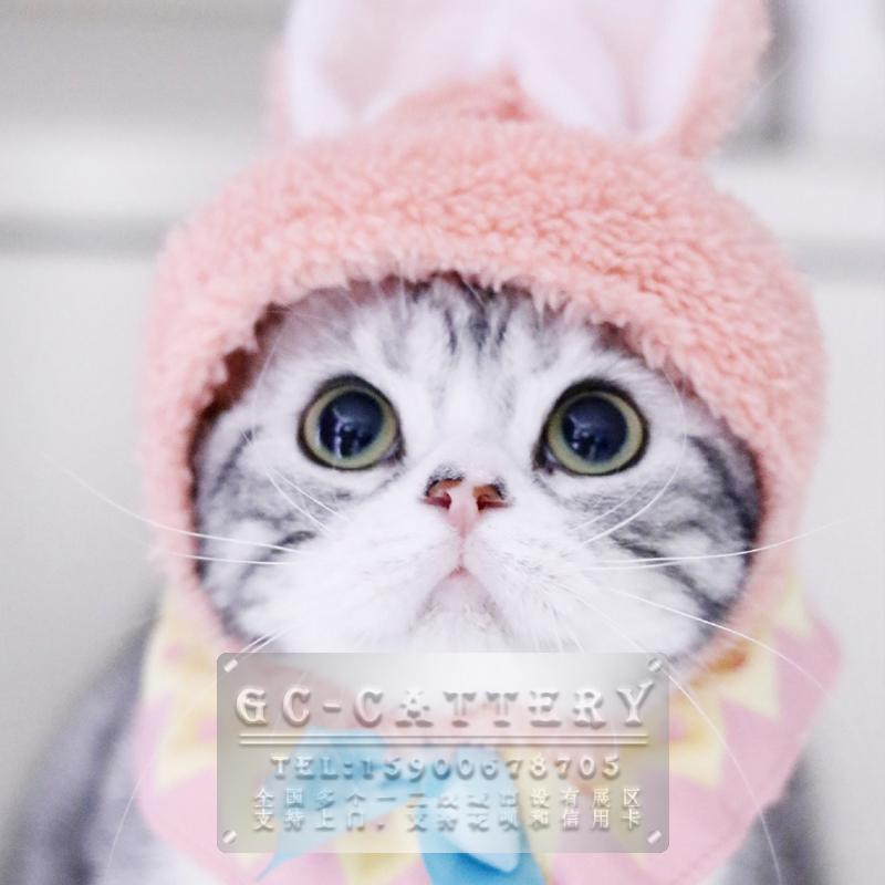 猫舍出售纯种家养美短银虎斑起司加白可爱粘人温顺