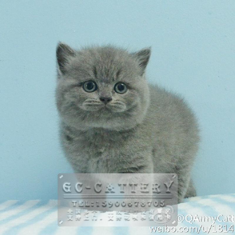 CFA猫舍出售双血统蓝猫精品小可爱胖乎乎圆滚滚 纯种健康