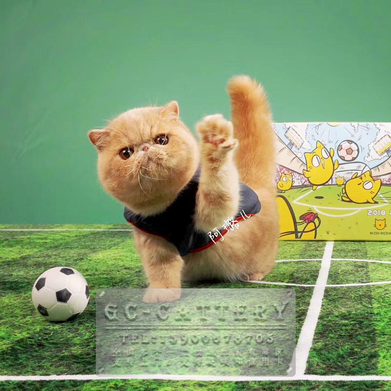 CFA TICA双注册猫舍出售纯种加菲猫大脸猫可爱慵懒