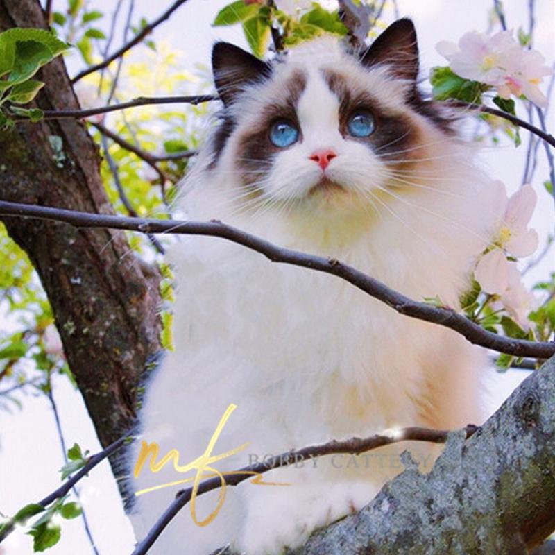 CFA猫舍出售赛级海双布偶高颜值仙女气质结构好找富养家庭