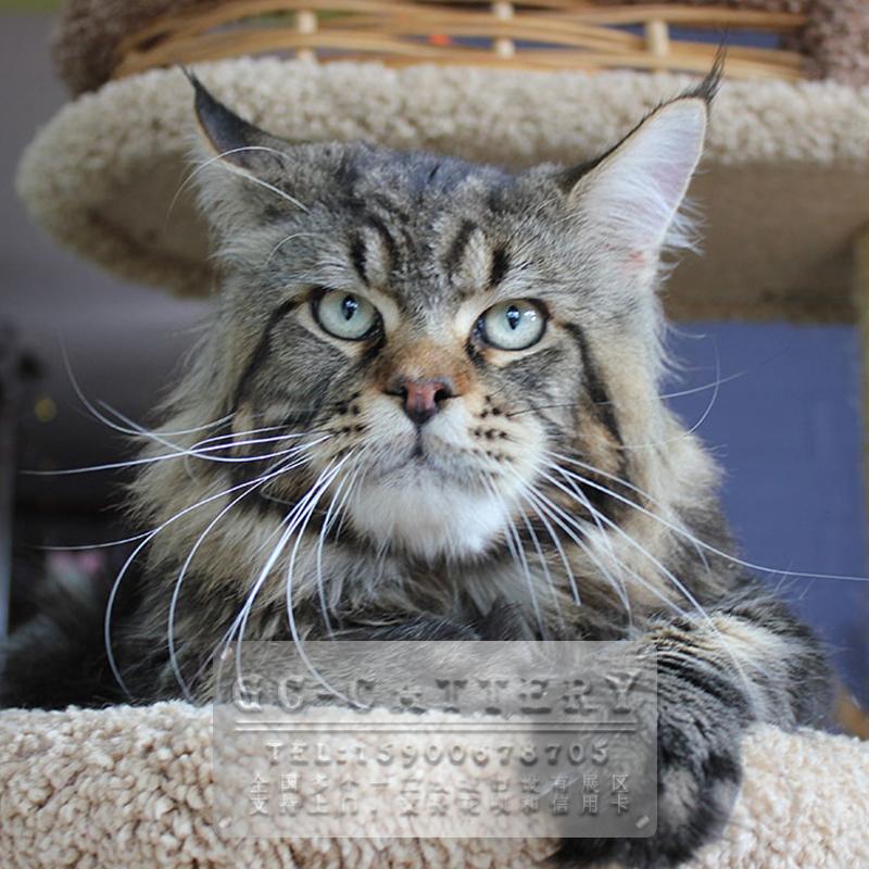 CFA TICA双注册猫舍出售精品缅因wildtype霸气