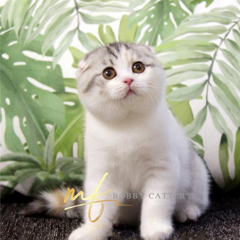 正规猫舍出售苏格兰折耳猫宠物猫精品小猫咪