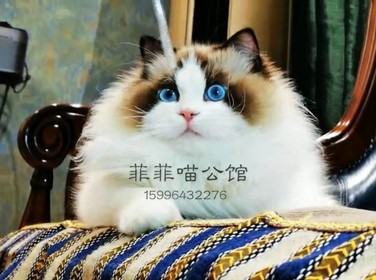 官方推荐猫舍 全国签订协议 带保险正规CFA猫舍布偶猫