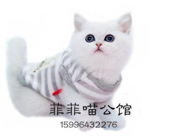 ▊官网推荐已认证▊精品英短渐层出售▊CAF认证▊质量第一▊
