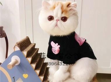 官网推荐已认证 精品加菲猫出售 可签订合同!▊CAF认证