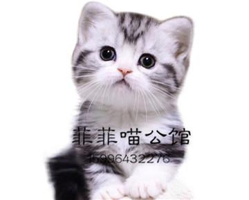 ▊官网推荐已认证▊美国短毛猫出售▊CAF认证▊质量第一▊