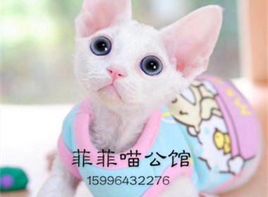 ▊官网推荐已认证▊德文卷耳猫出售▊CAF认证▊质量第一▊