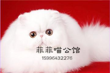 包纯种健康 波斯猫 全国送货上门 质保三年