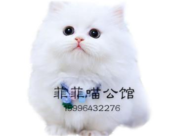 ▊官网推荐已认证▊拿破仑矮脚猫▊CAF认证▊质量第一▊