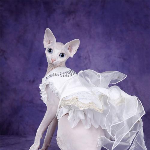本地猫舍兽医世家出售纯种健康无毛猫漂亮啊