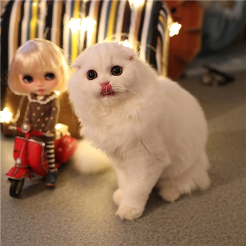 本地猫舍兽医世家出售纯种健康苏格兰折耳猫
