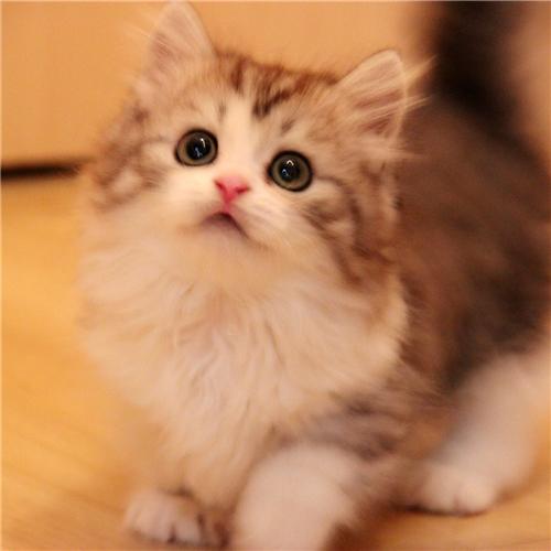 本地猫舍兽医世家出售纯种健康矮脚猫曼基康