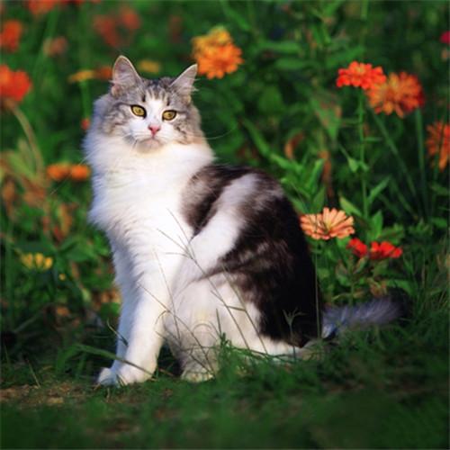 本地猫舍兽医世家出售纯种健康缅因猫大体霸气