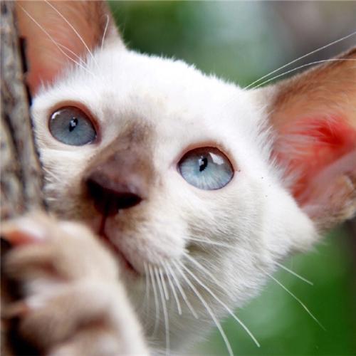 本地猫舍兽医世家出售纯种健康暹罗猫泰国神猫