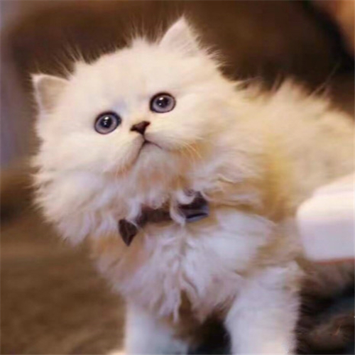 本地猫舍兽医世家出售纯种健康金吉拉甜美