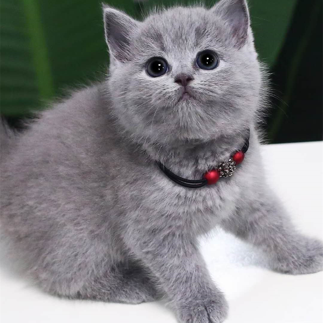 本地猫舍出售纯种健康蓝猫大蓝胖子