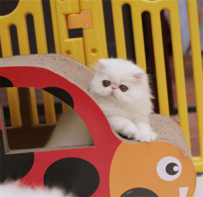 本地猫舍兽医世家出售纯种健康加菲猫红小胖
