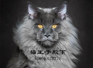 最大缅因猫舍、官方推荐、五星好评猫舍、终身质保、签订协议