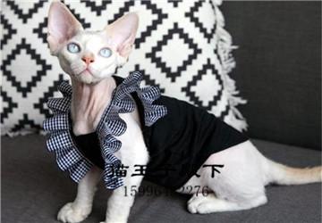 比鲁斯大人无毛猫幼猫崽纯种德文斯芬克斯黑白蓝皮精灵矮脚