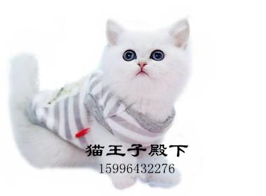 银渐层赛级猫 英短蓝猫 英短加白 金渐层 银渐层
