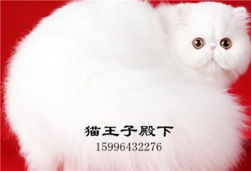 纯种爆毛纯白波斯猫幼猫波斯猫长毛小奶猫活体适合家养宠物猫